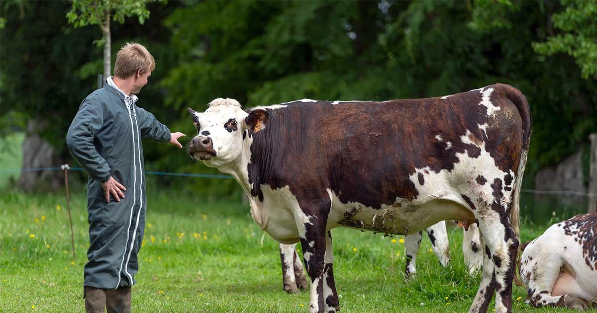 vache-normande-2